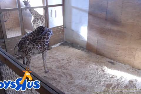 Hello, world! April the giraffe gives birth to calf