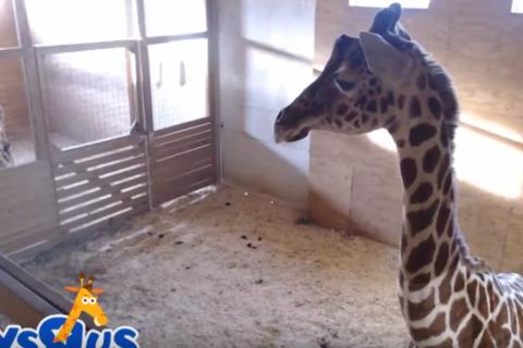 Watch live: April the giraffe's continuing pregnancy saga