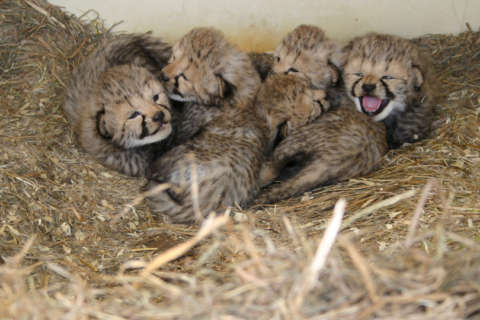 Name the cheetah cubs — vote now