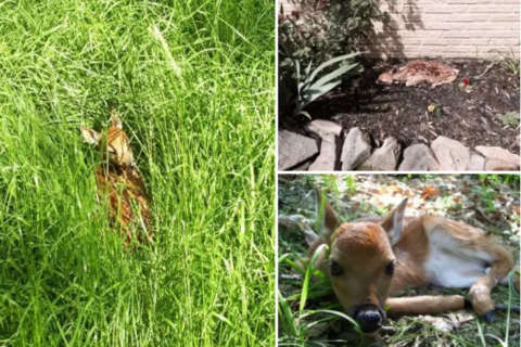 Leave Bambi be! Police remind public to keep away from fawns