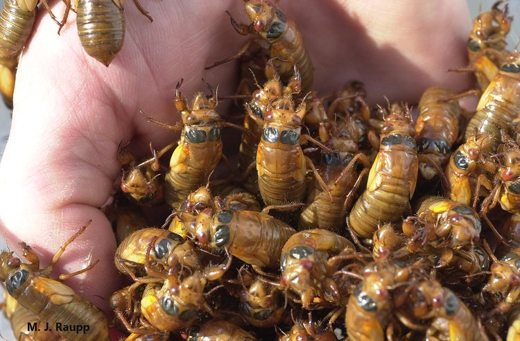 Cicadas don't sting or bite and will not harm you. This handful of Brood X cicada nymphs appeared at entomologist Mike Raupp's home in 2004. (Courtesy Mike Raupp)