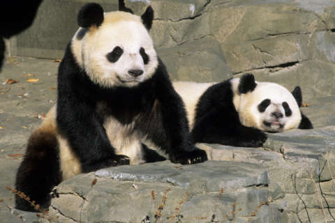 9 things you never wanted to know about giant panda sex (but we asked anyway)