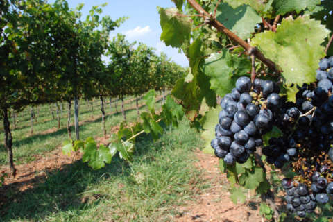 Not so grape: How Va. wineries are handling the region's wet weather