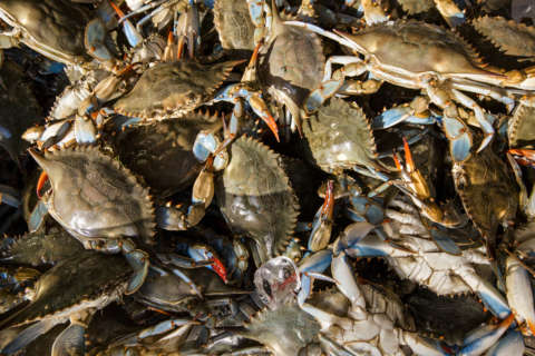 Report finds decline in Chesapeake Bay blue crab population