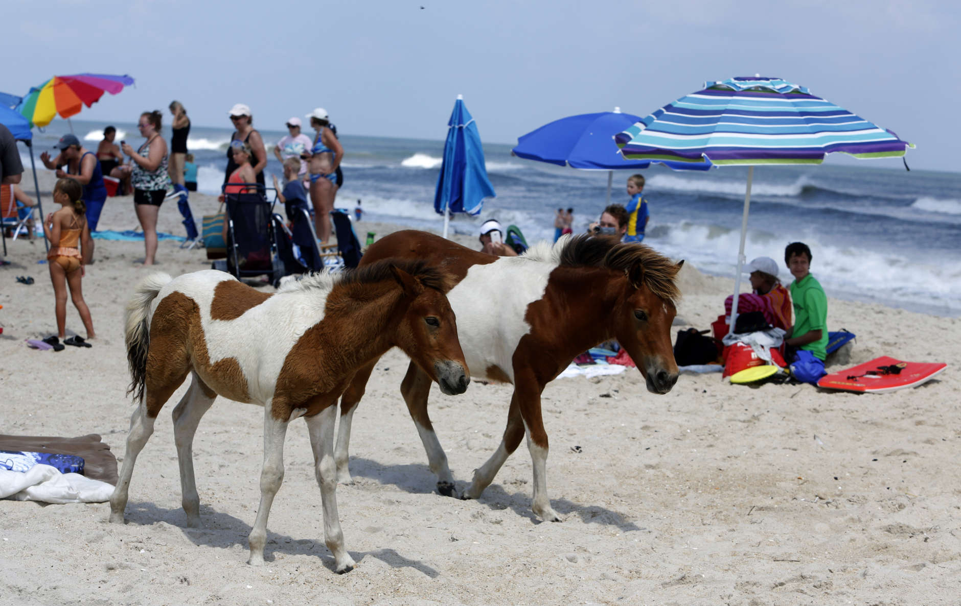 Wild horses roam on South Ocean Beach at Assateague Island National Seashore near Berlin, Md. (AP Photo/Jacqueline Larma)