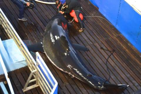 Mary Lee the great white shark is back, and she's looking for a mate