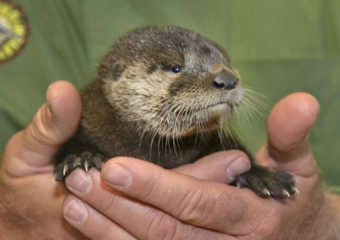 Baby otter 'about to give up' rescued from Phoenix canal