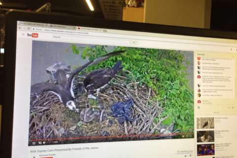 Va. osprey chicks are growing up on YouTube, and now they need names