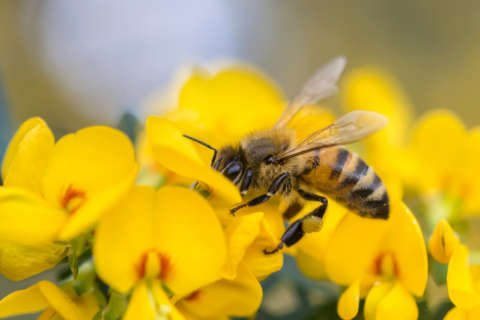 Help save the bees: Tips to make your yard a bee haven