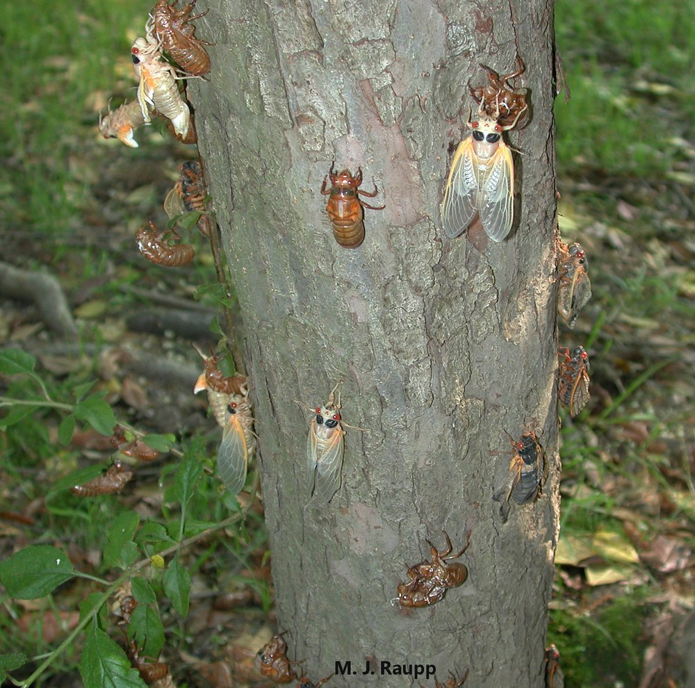 The bloom of cicadas will feed lots in the environment. (Courtesy Mike Raupp)