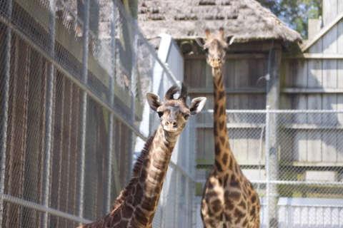 Virginia Zoo wants public's help in naming baby giraffe