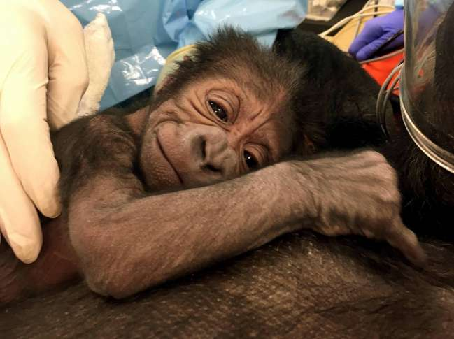 Zoo brings in OB-GYN for humans to deliver baby gorilla