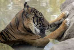 Jai, a Sumatran Tiger, sits in a pool to keep cool at the Phoenix Zoo, Monday, June 19, 2017 in Phoenix, Ariz. The forecast calls for a high of 118 on Monday and 120 on Tuesday in Phoenix.  (AP Photo/Matt York)