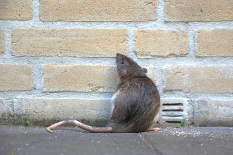 Rats! What DC is doing to curb its growing rodent problem