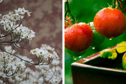 Dogwood or tomato worries? Here's a how-to guide