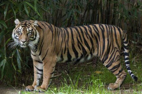 National Zoo announces birth of rare tiger cub (Photos)