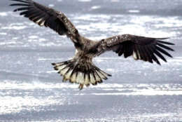 An osprey comes in for a landing after spotting a piece of fish discarded by an ice-fisherman the night before on Center Pond, Tuesday morning, Feb. 19, 2002, in Phippsburg, Maine. Ospreys have a wingspan of five to six feet.  (AP Photo/Robert F. Bukaty)