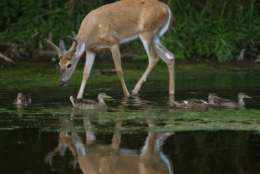 FILE — A white-tailed deer buck and mallard ducks move through shallow water in the Greater Fouty-Rutkowski Pond at dusk Friday, Aug. 12, 2011, in East Lansing, Mich. (AP Photo/Al Goldis)