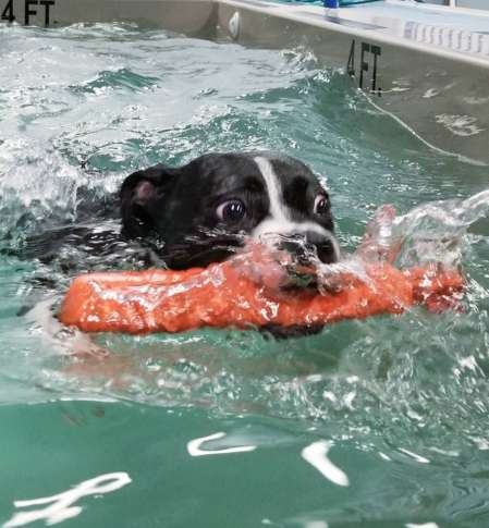 A Canine Client Takes Swim At Aquatic Paws In Falls Church Virginia During Daily Swimming Session Courtesy Lisa Castaneda
