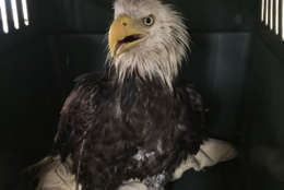 The injured eagle was having difficulty breathing, lethargic and unable to fly, when the Humane Rescue Alliance found it in Southeast D.C. (Courtesy City Wildlife)