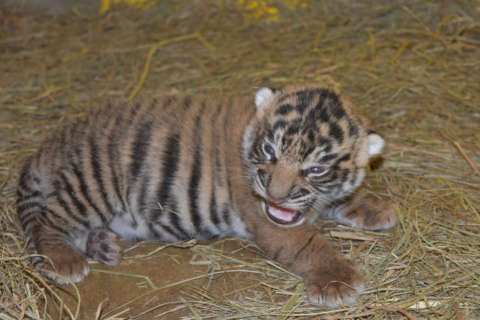 Tiger cub is a boy! Or so it appears, says National Zoo