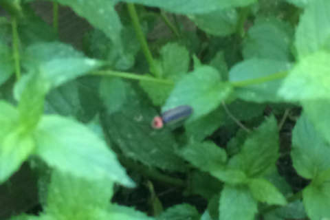 Fireflies are nice to plants, but beware of that squash vine borer