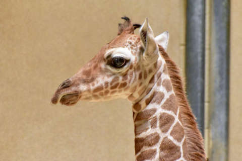 Maryland Zoo's baby giraffe in intensive care unit