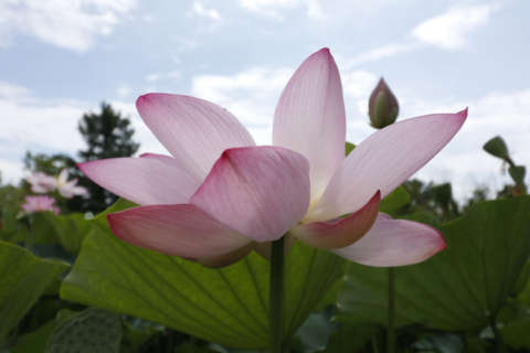 DC hidden gem ready to shine as Lotus and Water Lily Festival begins