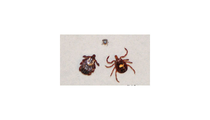 Clockwise from the top: The blacklegged tick can carry and transmit Lyme disease, the lone star tick can transmit several illnesses such as ehrlichiosis that presents with flu like symptoms and the American dog tick can transmit Rocky Mountain spotted fever. (Courtesy Mike Raupp/University of Maryland)