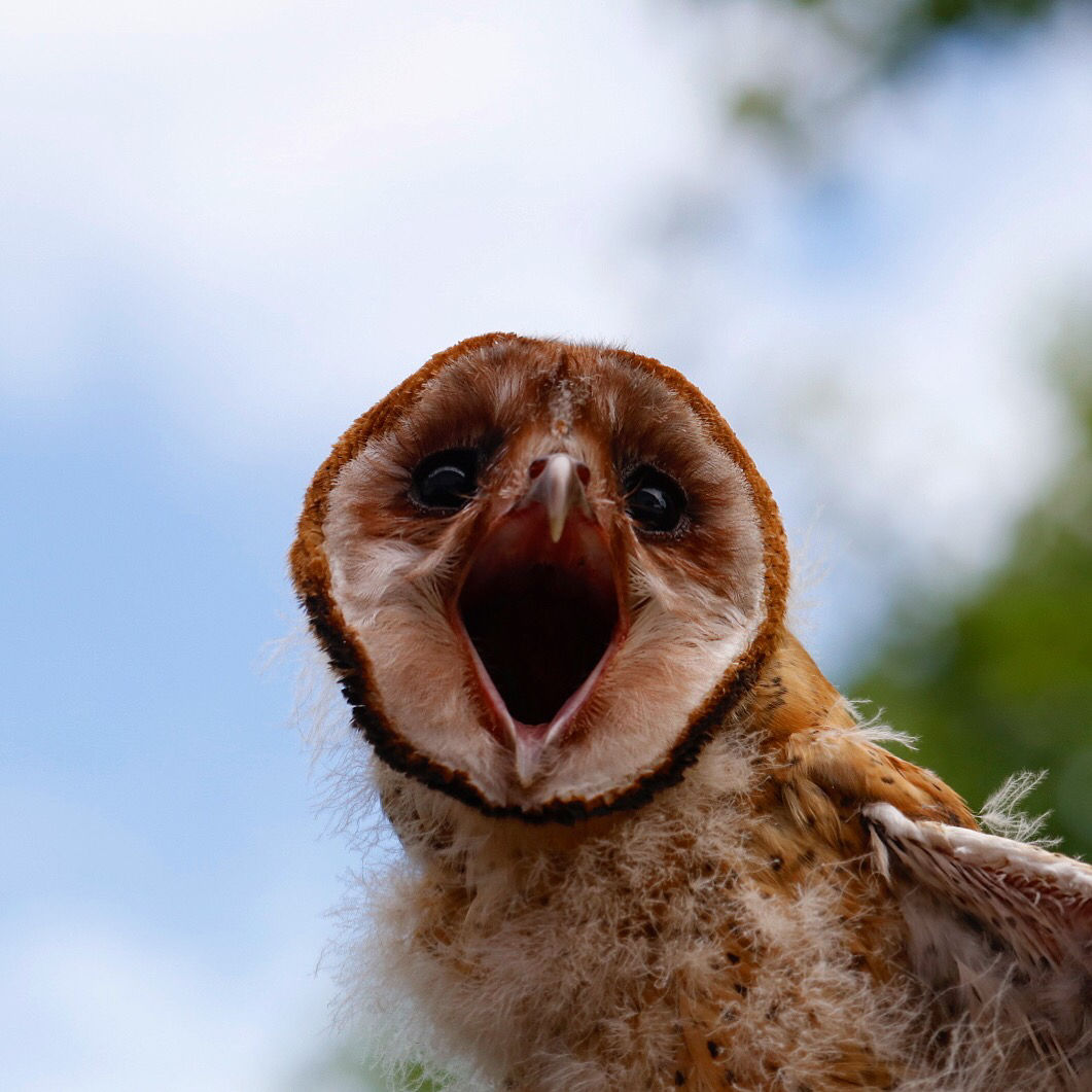 Angry birds. This fledgling barn owl is about to be banded, weighed and have its wingspan checked —  and it makes its feelings clear. (WTOP/Kate Ryan)