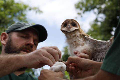 Declining barn owls make small gains in Maryland (Photos)