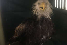 The injured eagle was having difficulty breathing, lethargic and unable to fly, when the Humane Rescue Alliance found it in Southeast D.C. (Courtesy Humane Rescue Alliance)