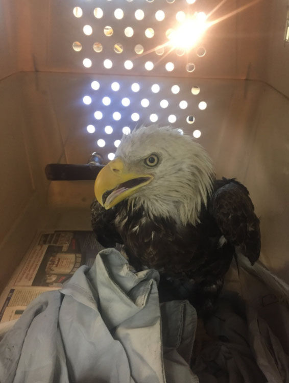 An injured bald eagle was rescued by the Humane Rescue Alliance Saturday in Southeast D.C. (Courtesy Humane Rescue Alliance)
