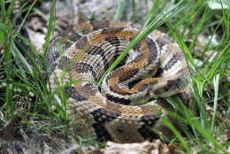 A timber rattlesnake sits coiled on section of a trail in Mountaintown, Ga., Wednesday, May 23, 2007. Fortunately Maryland and Northern Virginia is home to only two types of poisonous snakes, the timber rattlesnake and the copperhead. (AP Photo/John Bazemore)