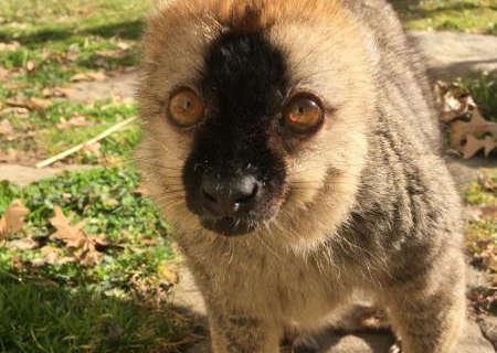 Elderly lemur dies at National Zoo
