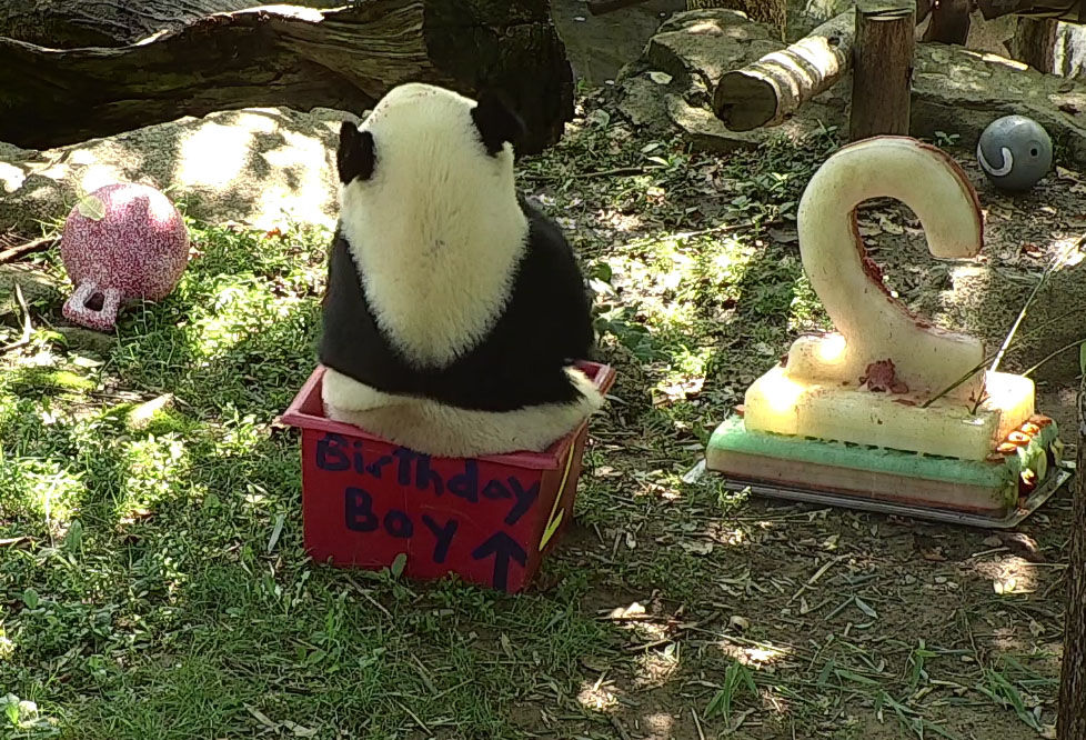 """Bei Bei celebrates his second birthday Aug. 22 with """"panda-friendly"""" cake and several new toys. (Courtesy Smithsonian National Zoo)"""