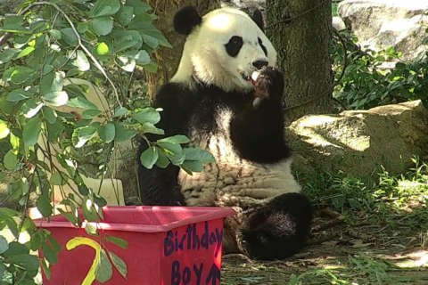 National Zoo panda cub Bei Bei celebrates 2nd birthday with 'panda-friendly' cake, toys (Photos)