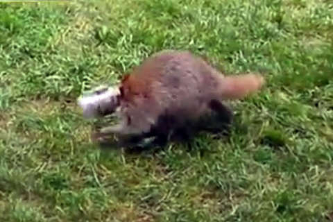 Watch: Raccoon stuck in a jam with head in peanut butter jar