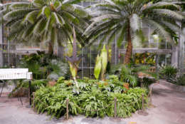 The Three Corpse Flowers At The U.S. Botanic Garden In Washington, D.C. On  Aug. 19, 2017, Are Expected To Bloom In The Next Few Days.