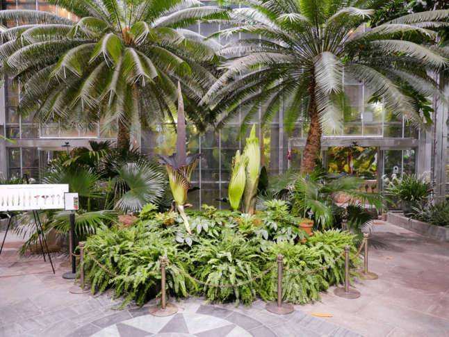 Because Of The First Floweru0027s Peak, The U.S. Botanic Garden Will Extend Its  Hours Sunday, Aug. 20 From 10 A.m. To 10 P.m. (Courtesy U.S. Botanic Garden)