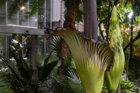 What's that smell? 2nd of 3 DC corpse flowers now in bloom