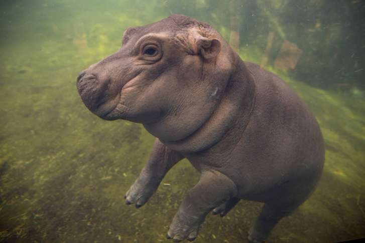 Fiona the hippo photobombs couple s engagement wtop - Cincinnati home and garden show 2017 ...