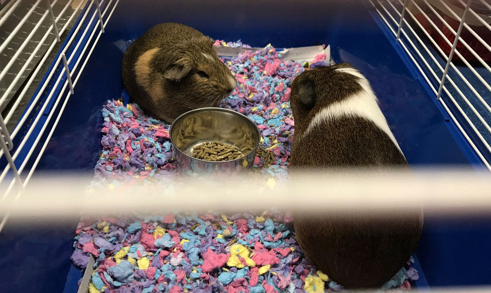 The Last Chance Animal Rescue in Waldorf, Maryland, receive small animals, such as these guinea pigs, that were affected by Harvey. (WTOP/Michelle Basch)