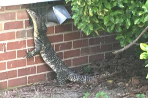 Police nab 4-foot-long lizard in Virginia (Photo)