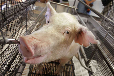 5 more Md. residents contract swine flu from county fair pigs