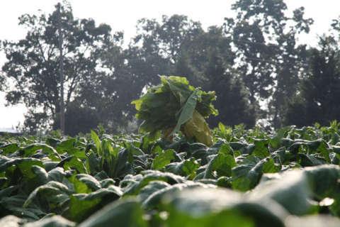 Certified-organic cigarettes? Tobacco is big organic business in Virginia