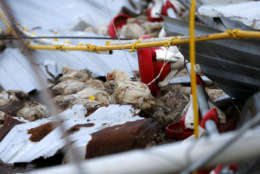 A lone chicken walks amongst the remaining dead poultry, in a poultry farm, in the aftermath of Hurricane Maria, in Aibonito, Puerto Rico, Monday, Sept. 25, 2017. A government official said that the farm, which supplies the only fresh chicken in Puerto Rico, lost more than one million chickens. (AP Photo/Gerald Herbert)