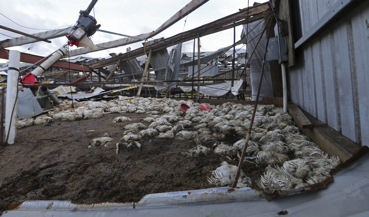 Dead poultry are seen in a farm, in the aftermath of Hurricane Maria, in Aibonito, Puerto Rico, Monday, Sept. 25, 2017. A government official said that the farm, which supplies the only fresh chicken in Puerto Rico, lost more than one million chickens. (AP Photo/Gerald Herbert)
