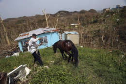 Jose Trinidad collects his horse, which survived Hurricane Maria, as he walks down to his destroyed home, in Montebello, Puerto Rico, in the aftermath of the hurricane, Tuesday, Sept. 26, 2017. (AP Photo/Gerald Herbert)