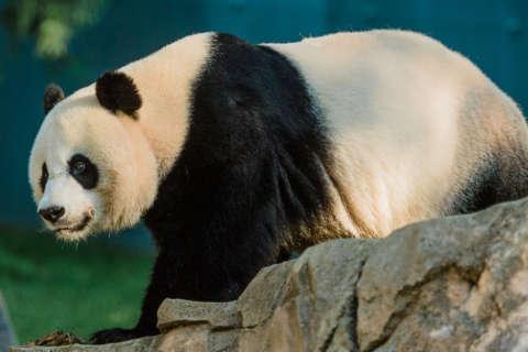National Zoo's giant panda Mei Xiang is not pregnant